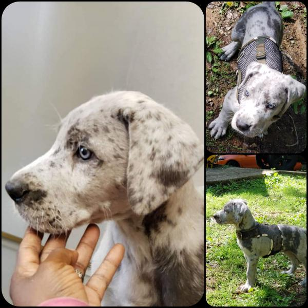 Silver/Blue Merle male