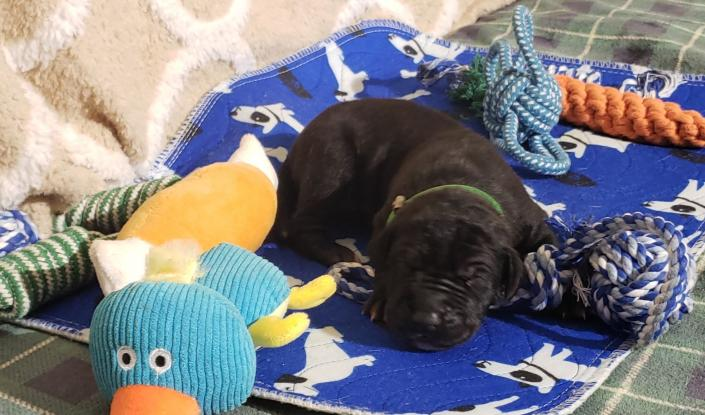 We currently have 2 black male pups available with the possibility of more on the way. You may apply to secure your families place in line for one. Ensuring you won't get skipped over when the adoption scurry begins ! ~Born February 23, 2020 with Go-Home date of Apr 19, 2020~ & ~Due March 3, 2020 with Go-Home date of Apr 28, 2020~