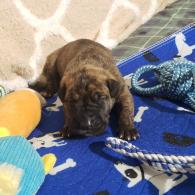Brindle male - BEEFCAKE