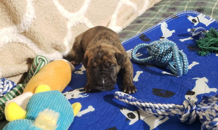 We only have 1 Brindle male - Adoption Pending ~Born February 23, 2020 with Go-Home date of Apr 19, 2020~