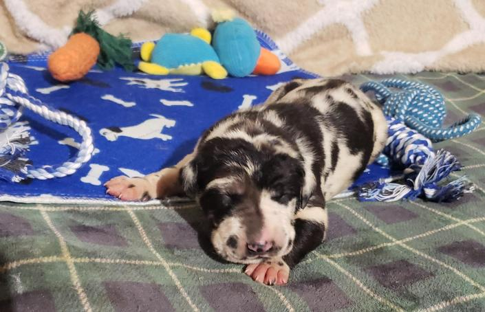 We currently have 1 Harlequin male available, with the possibility of more on the way. You may apply to secure your families place in line for one. Ensuring you won't get skipped over when the adoption scurry begins ! ~Born February 23, 2020 with Go-Home date of Apr 19, 2020~ & ~Due March 3, 2020 with Go-Home date of Apr 28, 2020~