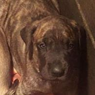 Brindle Female pups  (on-the-way) !
